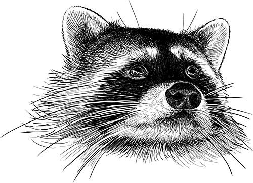 raccoon-head